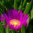 Ice plant — Stock Photo
