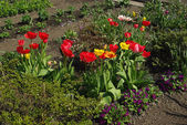 View of the tulips — Stock Photo