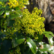 Close-up Mahonia — Stock Photo