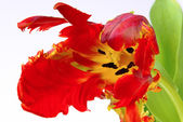 Close-up of the tulip — Foto de Stock