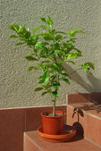 Lemon tree — Stock Photo