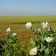 Stock Photo: View of poppy
