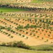 Stock Photo: Olive grove