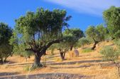 Olive grove in Calabria — Stock Photo
