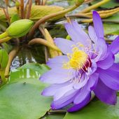 Seerose - water lily — Photo