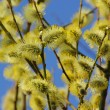 Catkin — Stock Photo #38952321