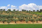 Olive grove — 图库照片
