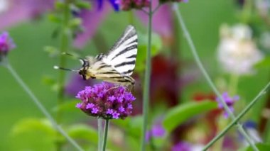 Scarce Swallowtail — Stock Video