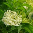 Elder flower — Stock Photo