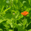 Calendula — Stock Photo #39116203