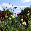 Stock Video: Poppy field