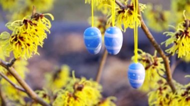 Hamamelis shrub in easter time — Stock Video