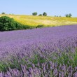Lavender field — Stock Photo #39429435