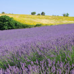 Lavender field — Stock Photo #39429435