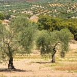 Olive grove — Stock Photo #39431173