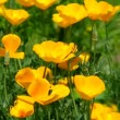 Stock Video: Californipoppy