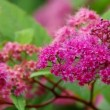 Stock Video: Spiraea