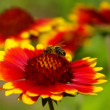 Stock Video: Blanket flower