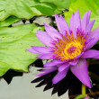 Water lily — Stock Photo #39997859