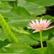 Water lily — Stock Photo #39997905