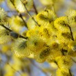 Catkin — Stock Photo