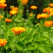 Calendula — Stock Video #40159827