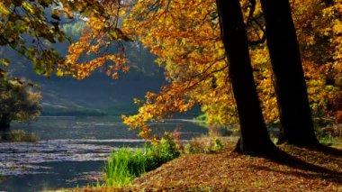 Oak tree in fall — Stock Video