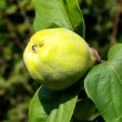 Quince — Stock Video