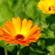 Calendula — Stock Video