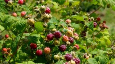 Raspberry plant — Stock Video