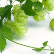 Hop branch — Stock Photo #41240113