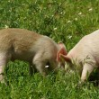 Pigs in grass — Stock Photo