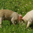 Pigs in grass — Stock fotografie