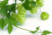 Hop branch — Stock Photo