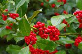Ilex berries — Stock Photo