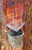 Pine forest resin extraction — Stock Photo