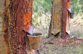 Pine forest resin extraction  — Stockfoto