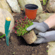 Stock Photo: Planting saxifragbryoides