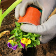 Stock Photo: Planting pansy