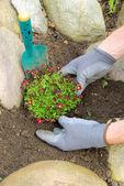 Planting a saxifraga bryoides — Stock Photo