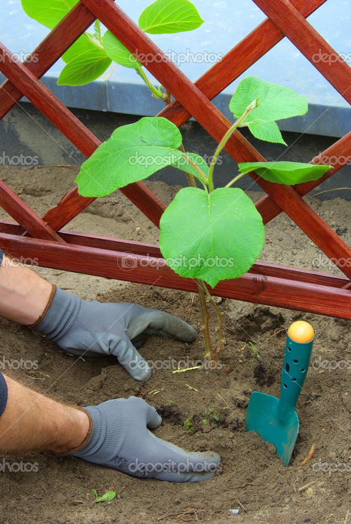 Piantare una pianta di kiwi foto stock kassandra2 for Pianta kiwi prezzo