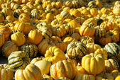 Ornamental pumkin — Stock Photo