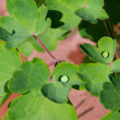 Stock Photo: Leaf from Aquilegia