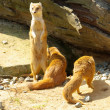 Yellow Mongoose — Foto de Stock