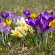 Stock Photo: Close-up Crocus
