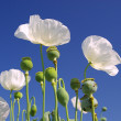 Stock Photo: Close-up poppy