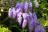 Close-up Wisteria — Stock Photo
