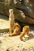 Yellow Mongoose — Foto Stock