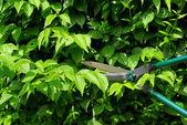 Cut a hedge — Stock Photo