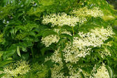Close-up elder flower — Stock Photo